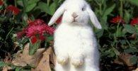 hermoso conejito belier blanco de pie - Todo sobre los conejos enanos