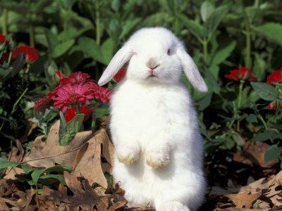 gracioso conejo enano blanco
