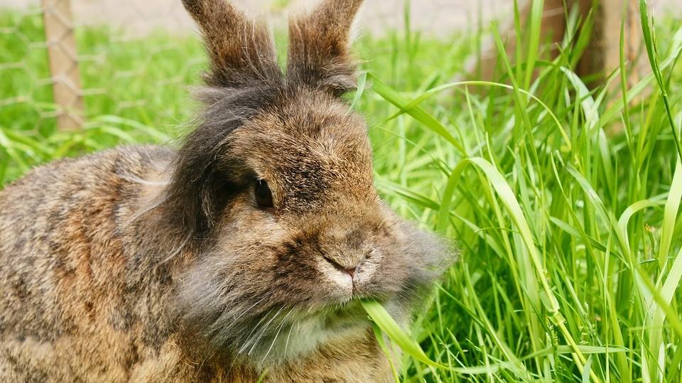 Conejo enano marrón - lionhead