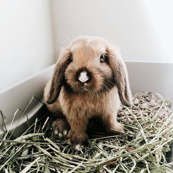 Conejo enano comiendo heno