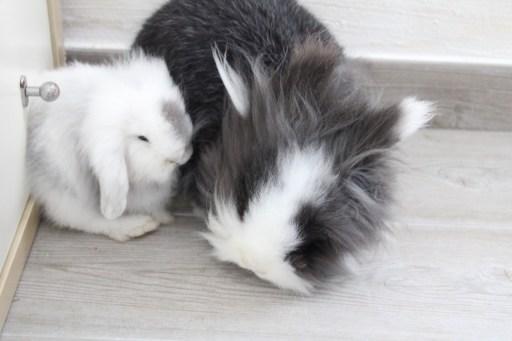 Tambor y Grey - Socialziacion entre conejos