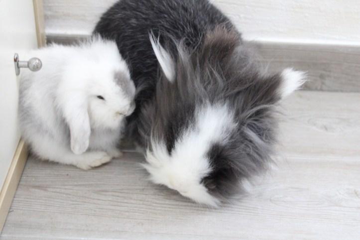 Tambor y Grey. Proceso de socialización entre conejos enanos.