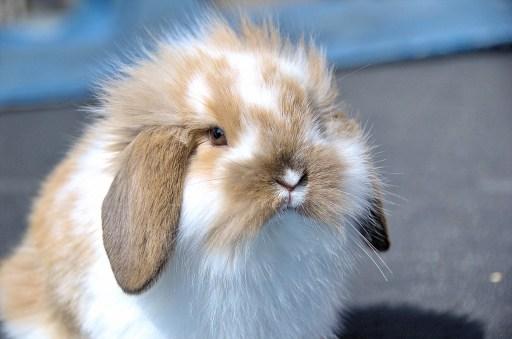 Conejo belier - Golpe de calor en conejos enanos