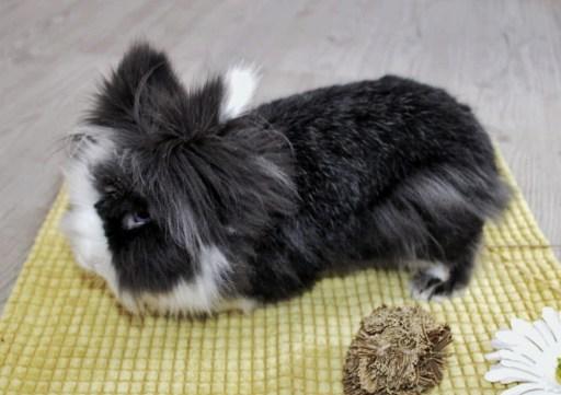 Conejo cabeza de león blanco y negro esta raza también se conoce como lionhead.