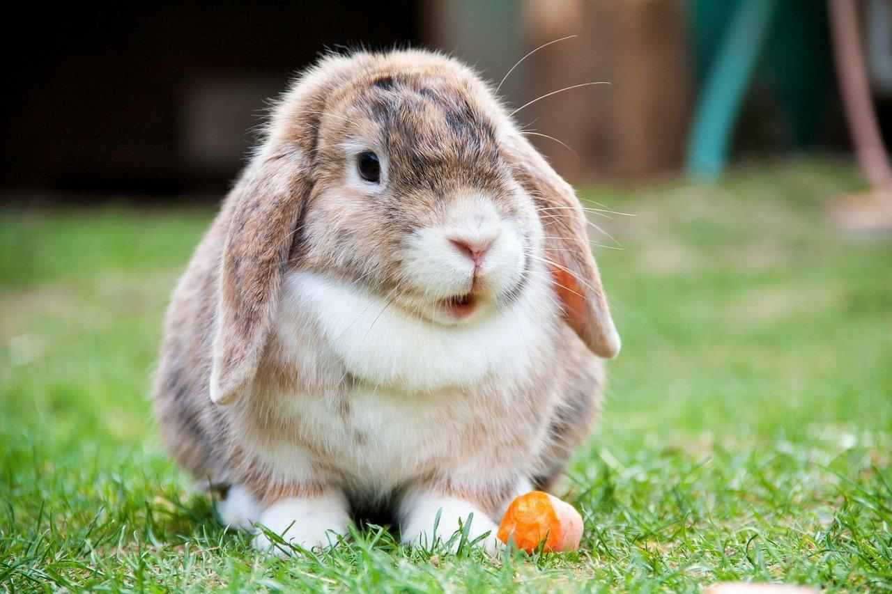 conejo enano de raza mini lop blanco y marrón - Todo sobre los conejos enanos