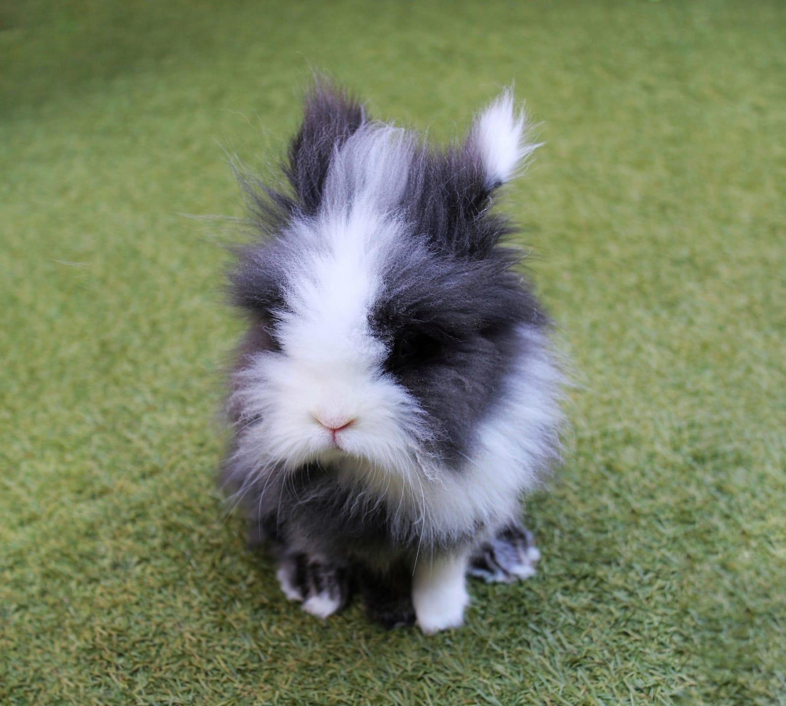 Conejos enanos - Conejo cabeza de león