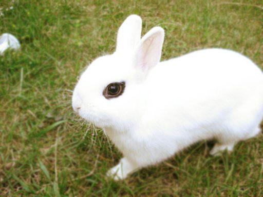 Conejo blanco - razas de conejos enanos