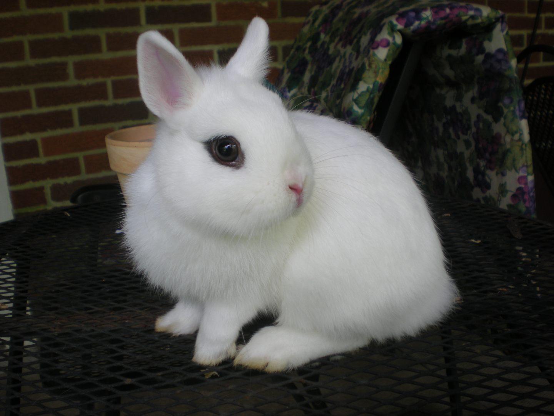 hotot - Todo sobre los conejos enanos