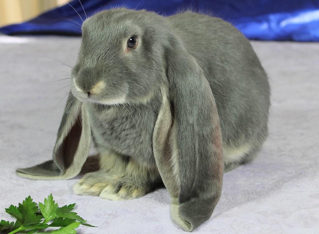 Conejo Belier Inglés gris