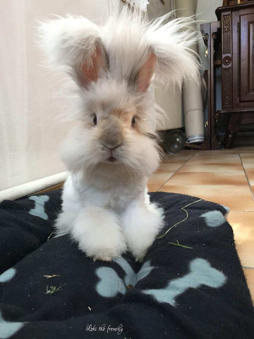 bonito conejo de raza angora