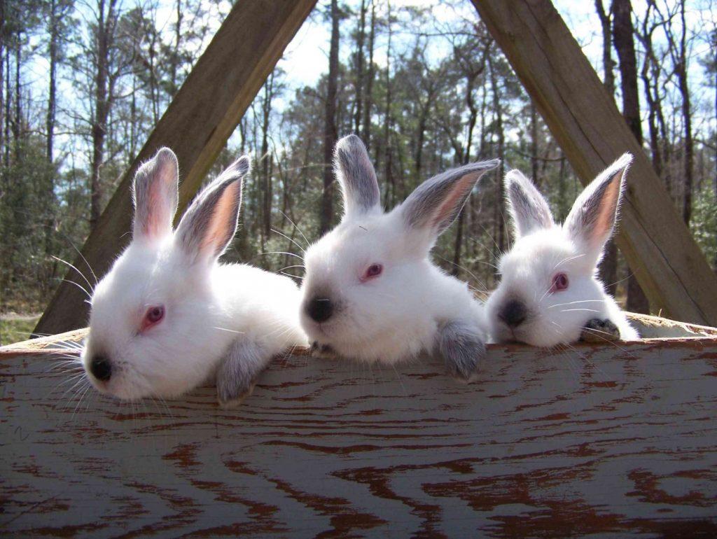 3 conejitos californianos - razas de conejo