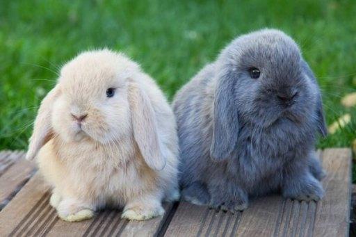 Razas de conejos con orejas caidas