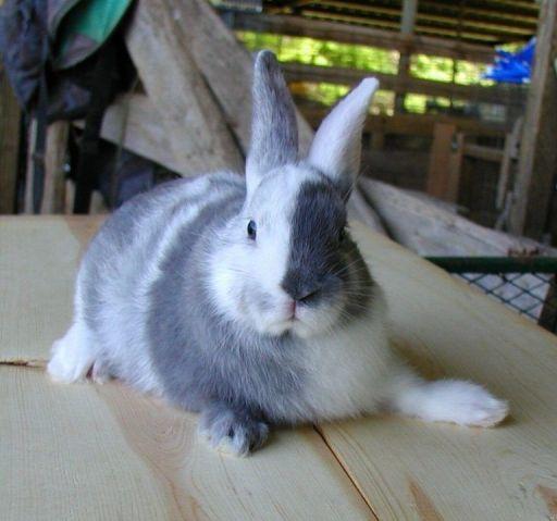 Conejo Arlequin - Razas de conejos