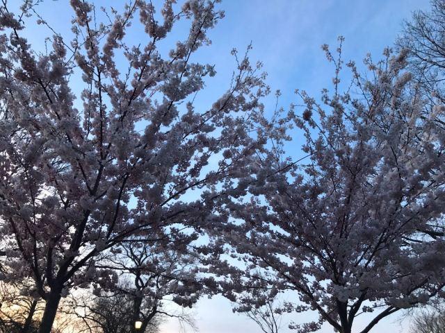 Cherry Blossom Toronto