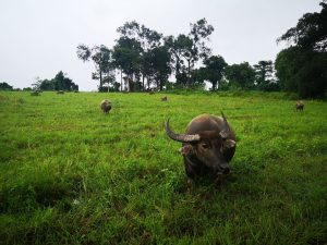 photos of isan water buffalo in a field
