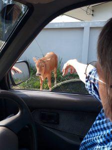 photos of isan calf