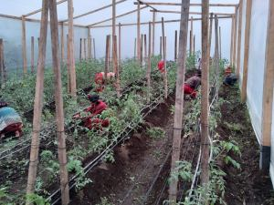 busy planting in the greenhouse in Chajul Guatemala