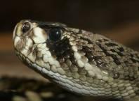 Uma das Serpentes mais Venenosas do Mundo