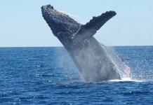 Baleias - Características das principais espécies e curiosidades