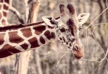Girafa - Comportamento, características e curiosidades