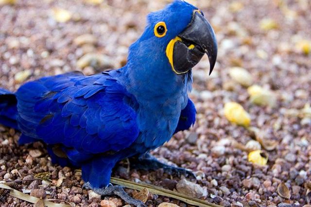 Algumas características e comportamentos da arara-azul