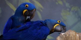 Arara-azul: extinção, habitat, comportamento e curiosidades