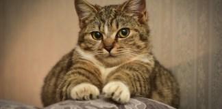 Amassar pãozinho: por que os gatos afofam?