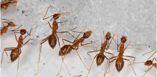 Sucesso na erradicação de formigas assassinas de pássaros do Pacífico