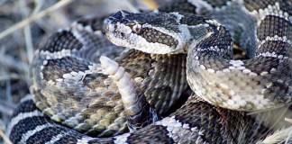 Cobras venenosas estão invadindo aviões por causa da pandemia