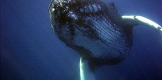 Homem é engolido e depois vomitado por uma baleia