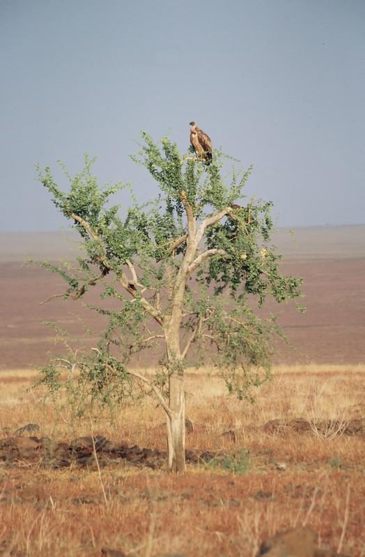 Buitre - Canon EOS500N - Kodakchrome 100 día ETIOPIA