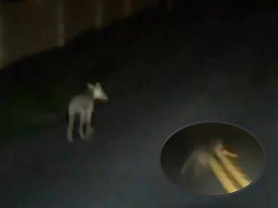 ¿El Chupacabras grabado en vídeo? 2013