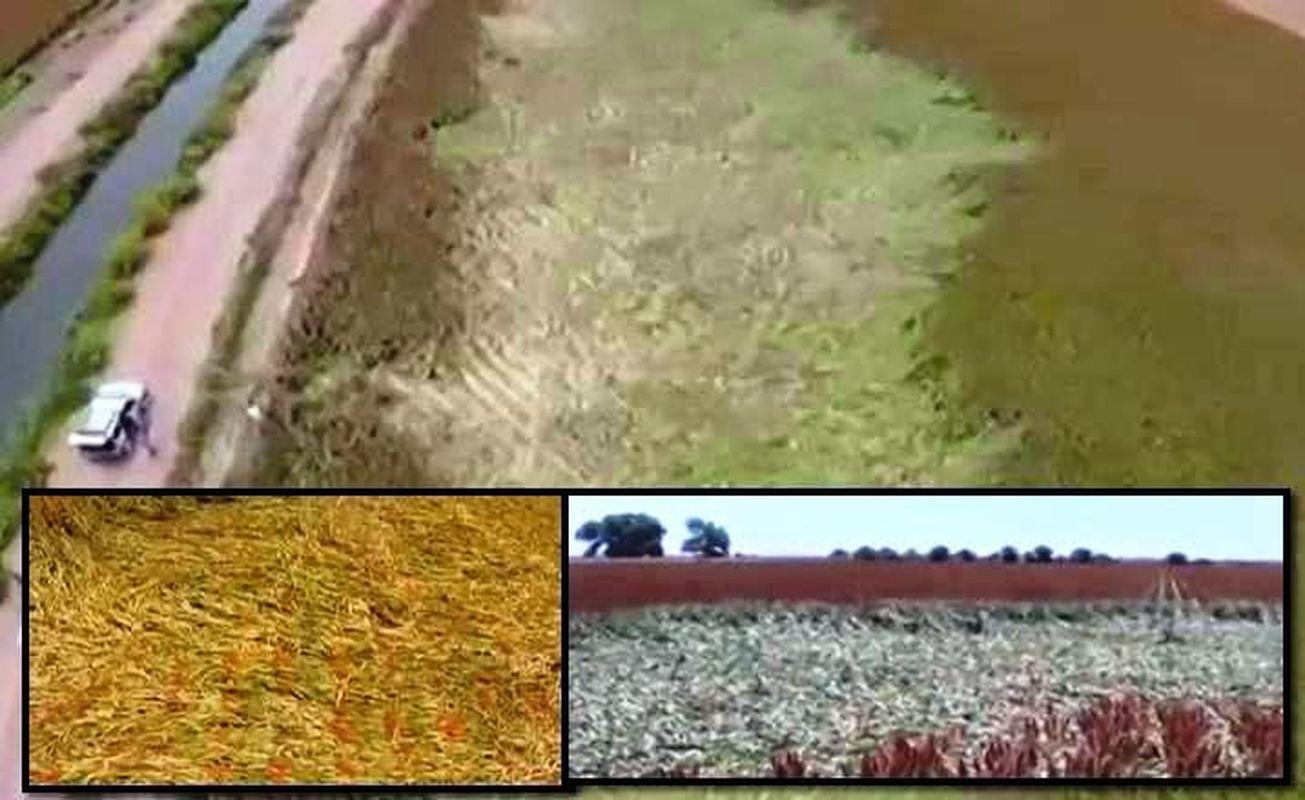 Misterioso aplastamiento de cosechas en las tierras de cultivo en Guasave, Sinaloa, México