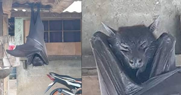 Murciélago gigante captado en Filipinas