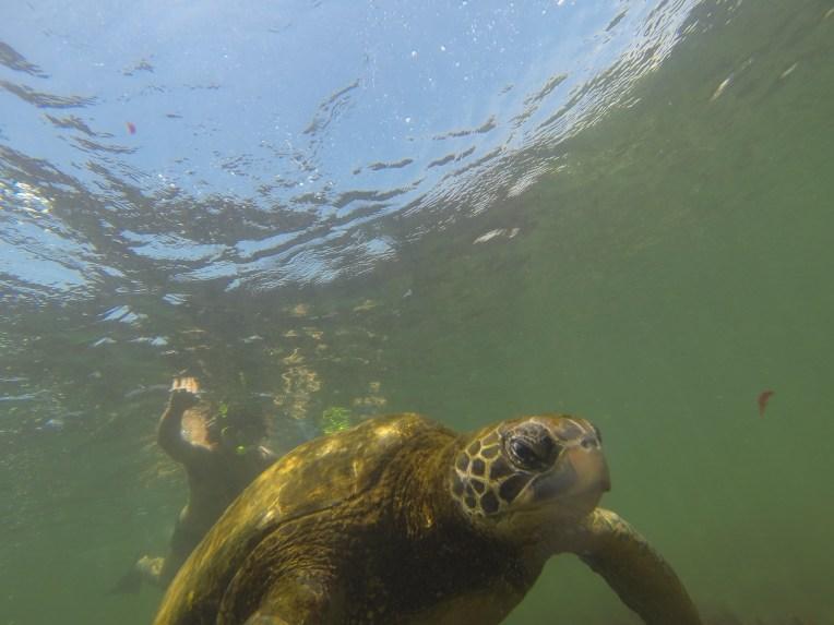 Mergulho com tartaruga em Los Tuneles, Galápagos
