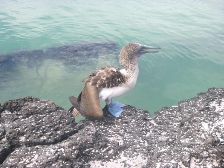 Piquero de Patas Azuis, ave endêmica de Galápagos.