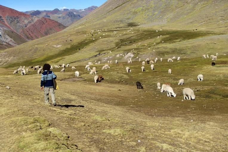 Ovelhas e lhamas no caminho para o Cerro Colorado