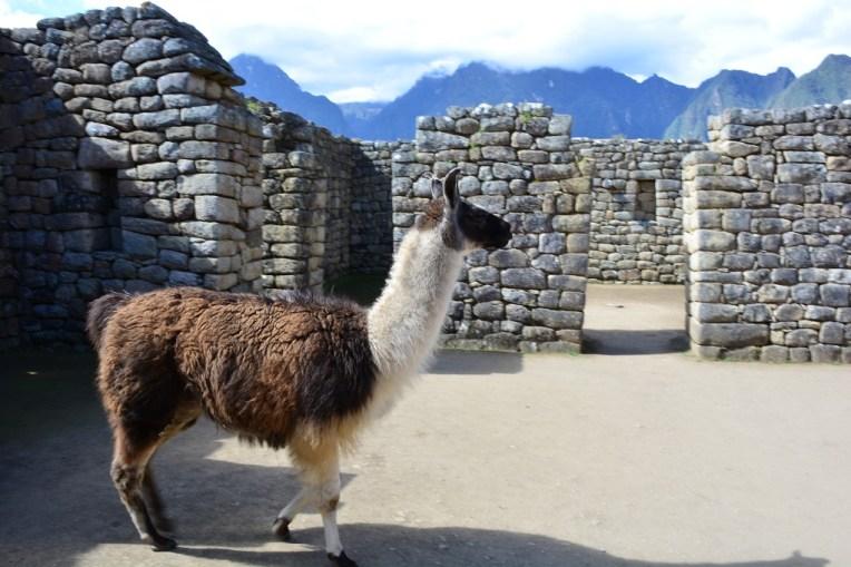 Llama em Machu Picchu