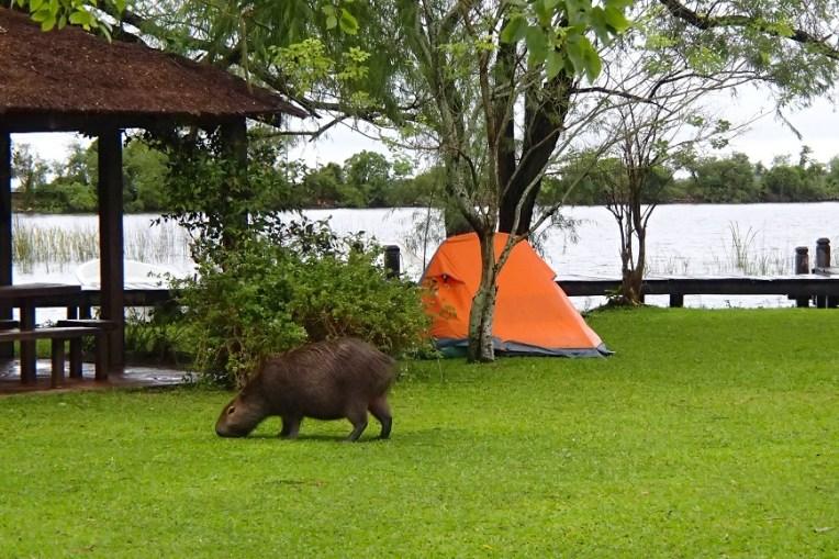 Acampando com uma capivara nos Esteros del Iberá