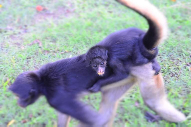 Macaca carregando seu filho nas costas na Isla de los Monos