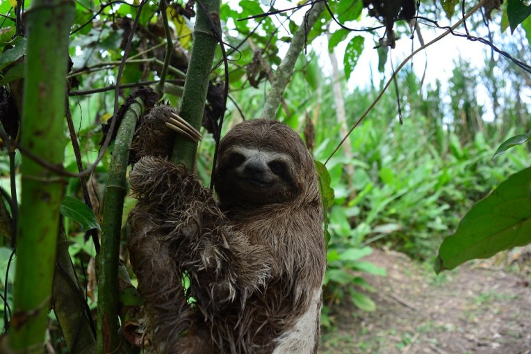 Bicho-preguiça da selva amazônica