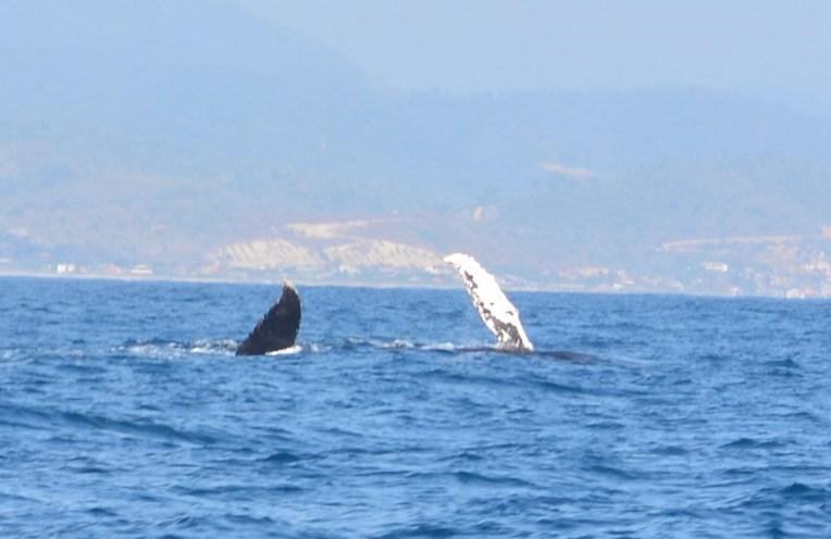 Baleia em Puerto Lopez, Equador
