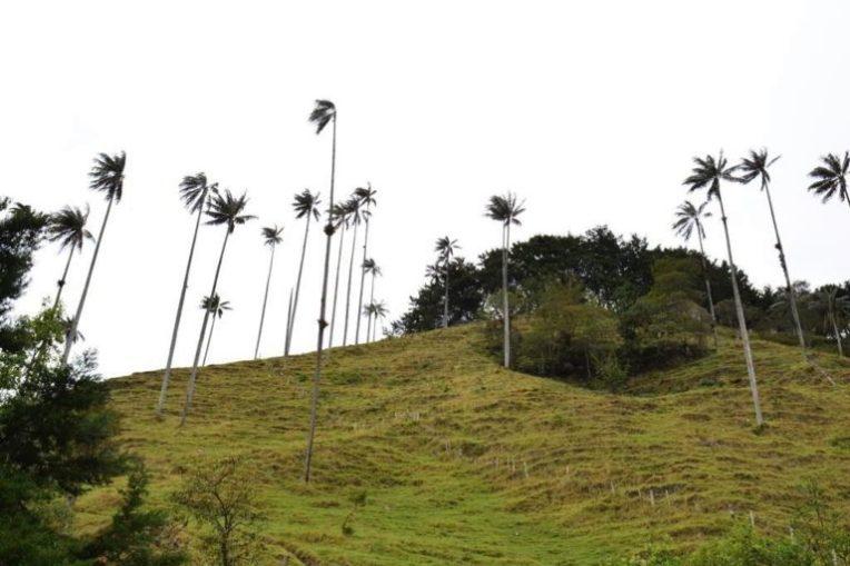 Palmeiras no Vale de Cocora