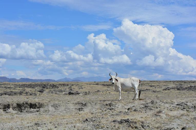 Boi no deserto de Tatacoa