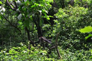 Macaco-aranha na Reserva Natural Atitlán