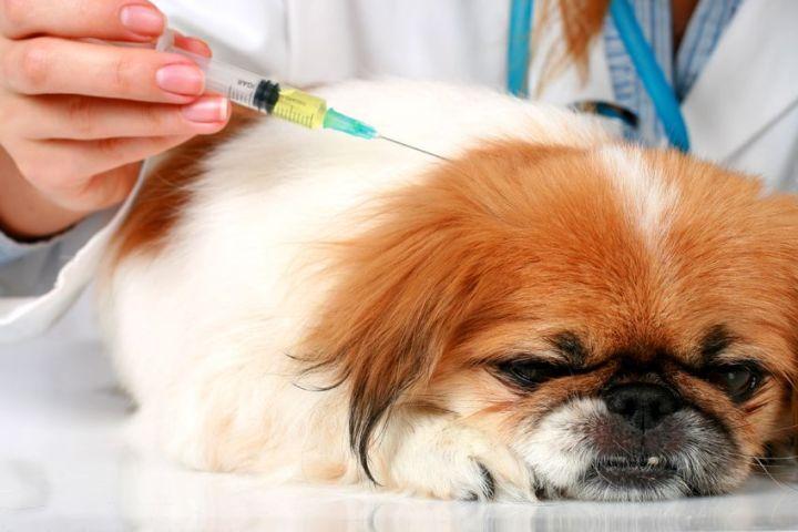 Vacinação em cães: Diferença entre vacina importada e nacional.