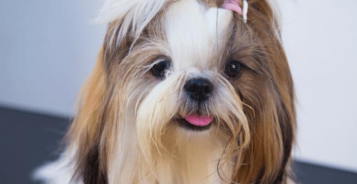 Castração cachorro