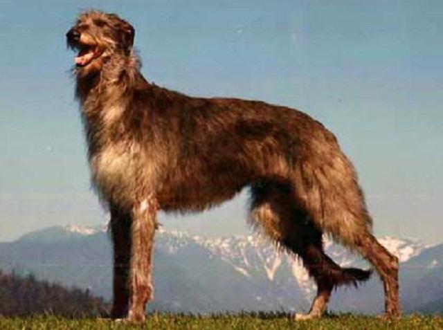 Top 10 maiores raças de cães do mundo - Lébrel Escocês