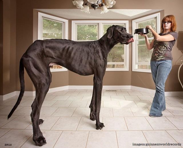 Qual é o maior cachorro do mundo pelo Guinness? - Zeus