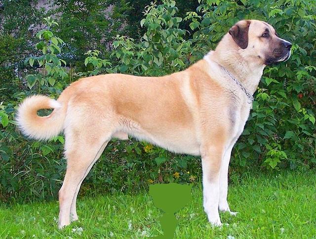 Top 10 maiores raças de cães do mundo - Kangal